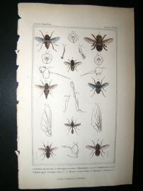 Cuvier C1835 Antique Hand Col Print. Cuterebra, Hypodemo, Myopa 112 Insects